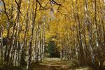 Aspens in the Abajo Mountains
