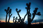 Joshua Trees near Alamo