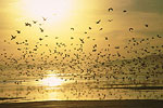 Birds over the Great Salt Lake